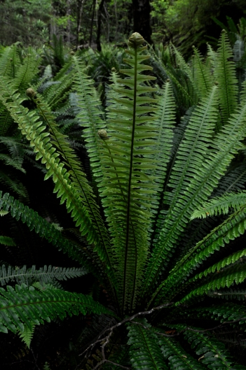 typical nz fern