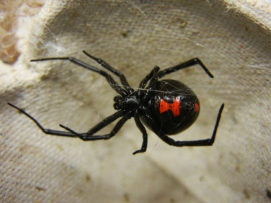 Australian Black Widow