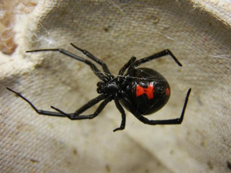 Australian Black Widow