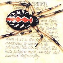 illustration of Katipo spider
