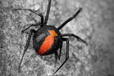Red Back lady spider