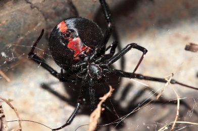 underside of Red Back lady spider