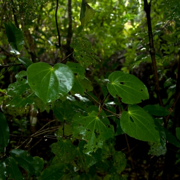Kawakawa - delicacy for caterpillars