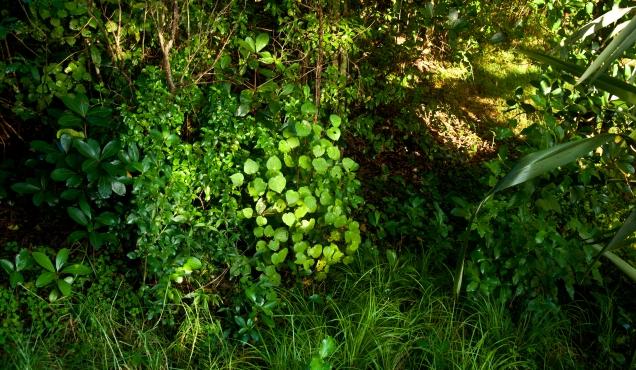 Kawakawa in the bush