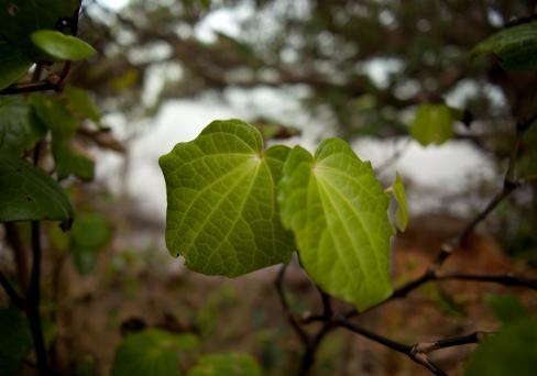 kawakawa leaves - close up