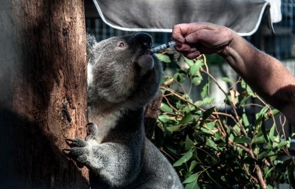 koala v nemocnici