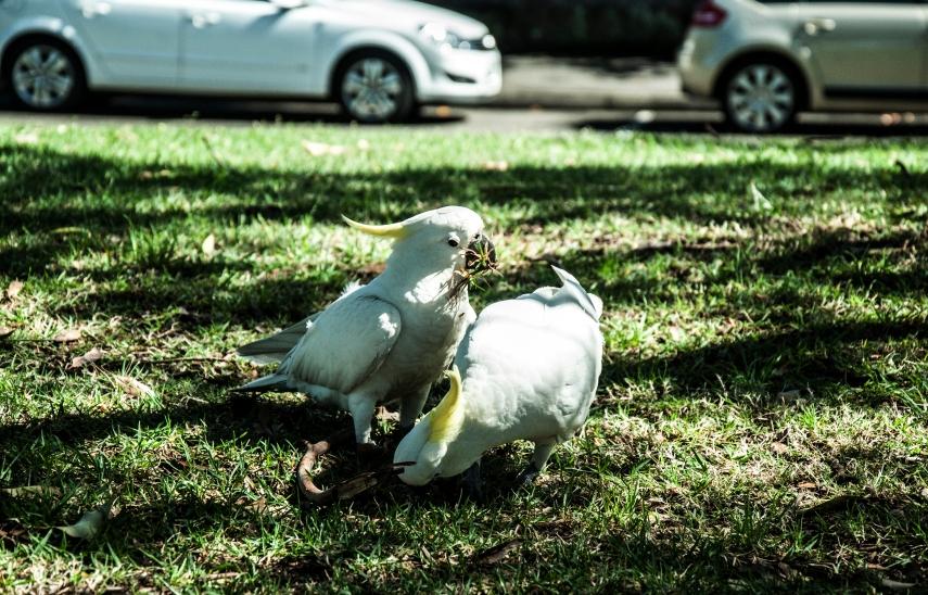 """Australští """"holoubci"""" Kakadu"""