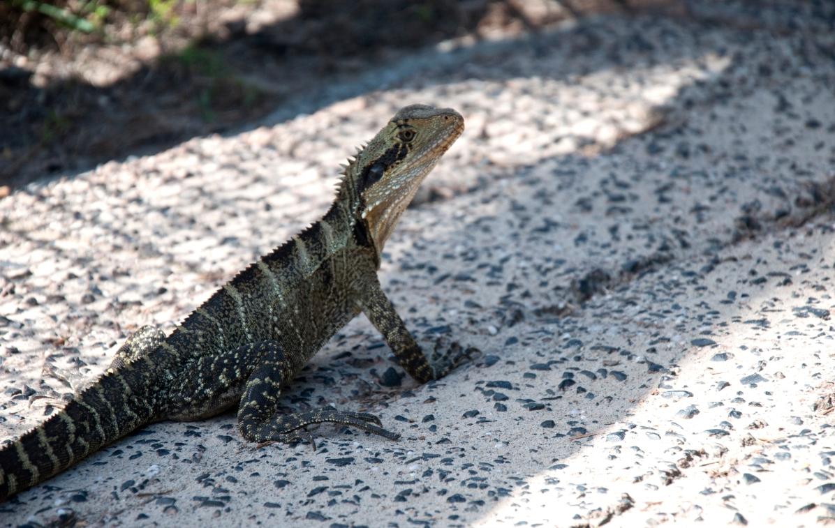 mini lizardík